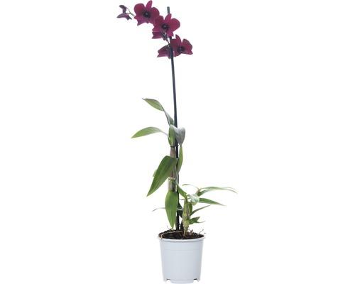 Dendrobie FloraSelf Dendrobium sanook ''Thailand Black'' H 55-70 cm pot Ø 11 cm 1 panicule