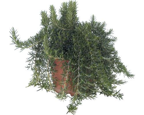 Romarin FloraSelf Rosmarinus officinalis ''Riviera'' pot Ø 12 cm