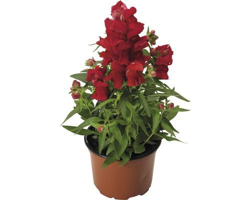 Gueule-de-loup FloraSelf®, pot de 10.5, couleur assortie