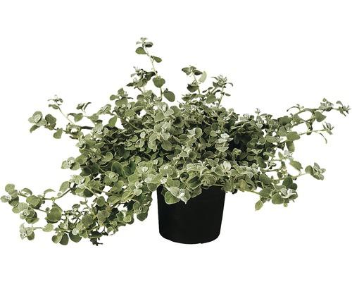 Helichrysum petiolare FloraSelf pot Ø 11 cm