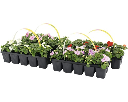 Impatiens walleriana FloraSelf® lot de 10, couleurs assorties