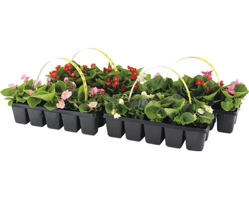 Bégonias de cire FloraSelf® lot de 10, couleurs assorties