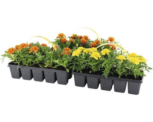 Œillets d''Inde à petites fleurs FloraSelf® lot de 10, couleurs assorties