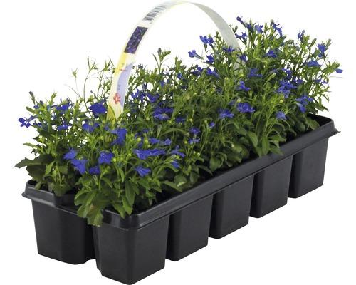 Lobélie érine FloraSelf® lot de 10, bleu