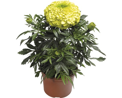 Studentenblume Tagetes erecta Ø 9 cm Topf zufällige Sortenauswahl