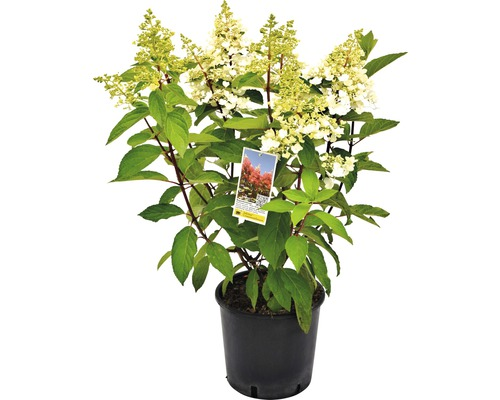 Hortensia paniculé Hydrangea paniculata Pinky-Winky h 40-60 cm Co 5 l