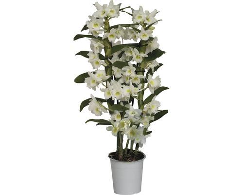 Dendrobium nobile FloraSelf ''Apollon'' H 55-70 cm pot Ø 12 cm 2 panicules