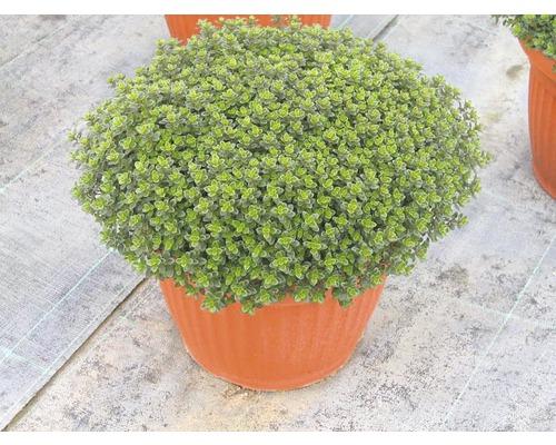 Thym FloraSelf Thymus vulgaris ''Fredo'' pot Ø 12 cm