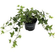 6 x gezacktblättriger Efeu FloraSelf Hedera helix ''Green Ripple'' H 15-20 cm Co 1 L-thumb-0