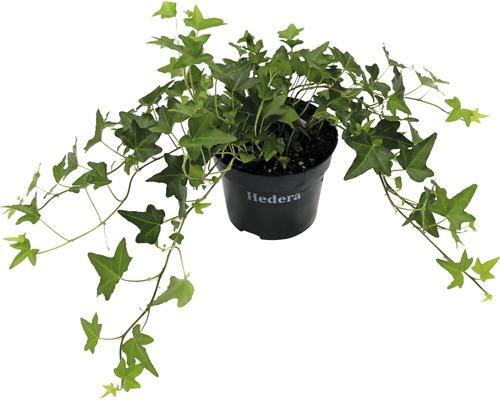 6 x Lierre à feuilles dentelées FloraSelf Hedera helix ''Green Ripple'' H15-20cm Co 1 L