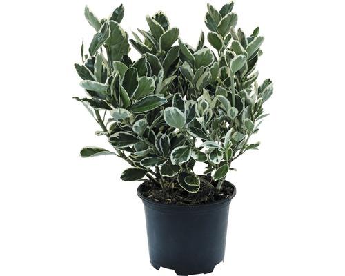 6 x Fusain du Japon FloraSelf Euonymus japonicus ''Katy'' H15-20cm Co 1 L