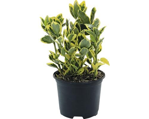 6 x Fusain du Japon FloraSelf Euonymus japonicus ''Marieke'' H15-20cm Co 1 L
