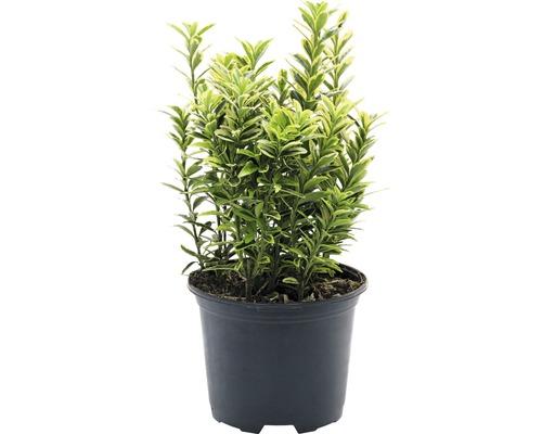 6 x Fusain du Japon- à petites feuilles FloraSelf Euonymus japonicus ''Microphyllus Aureovariegatus'' H15-20cm Co 1 L
