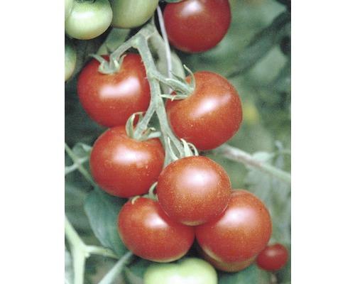 Tomate cocktail FloraSelf Lycopersicon esculentum pot Ø 9 cm