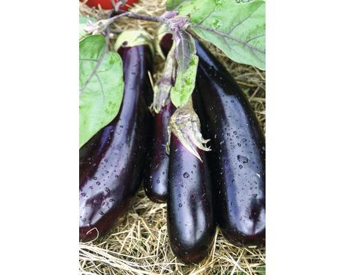 Aubergine Solanum melongena pot Ø 9 cm