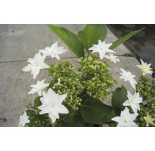 Hortensia Hovaria Fireworks White 30-40 cm-thumb-1
