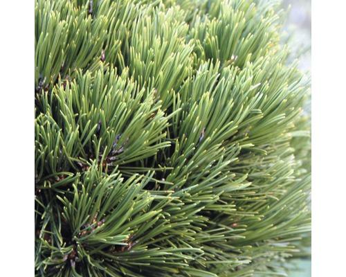 Pin de Bosnie nain Botanico Pinus leucodermis ''Schmidtii'' H 15-20 cm Co 3,7 L