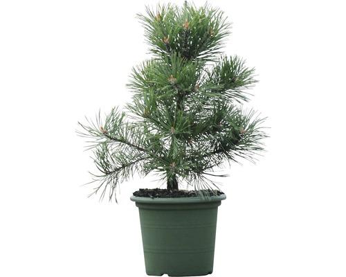 Arbuste pin Botanico Pinus mugo ''Gnom'' H 30-40 cm Co 3 L