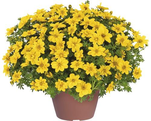 Biden à feuilles de férule, pot de 10.5, jaune