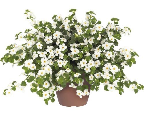 Bacopa Scopia® Dynamic White FloraSelf® pot de 12, blanc