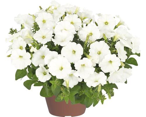Pétunias retombants White Ray™ FloraSelf® pot de 12, blanc
