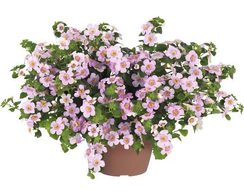 Hysope d''eau FloraSelf Bacopa sutera ''Pink Heart'' pot Ø 12 cm