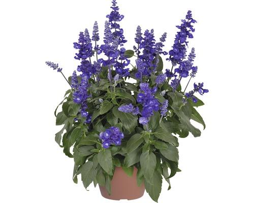 Salvia Sallyfun Deep Ocean FloraSelf® pot de 12, bleu