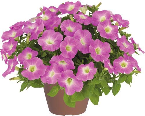 Pétunias retombants Baroque Pink Ray™ FloraSelf® pot de 12, rose