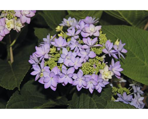 Hortensia FloraSelf® Hydrangea intermedia Romance 30-40 cm