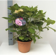Hortensia à fleurs plates FloraSelf Hydrangea intermedia ''Forever'' h 30-40 cm Co 4,6 l-thumb-0