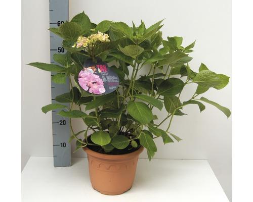 Hortensia à fleurs plates FloraSelf Hydrangea intermedia ''Forever'' h 30-40 cm Co 4,6 l-0