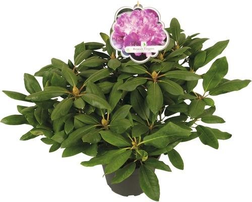Rose des alpes, 30-40 cm