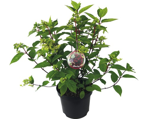 Hortensia paniculé Hydrangea paniculata ''Wim''s Red'' H40-50cm Co 7,5 l