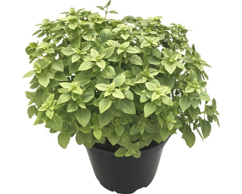 Basilic FloraSelf Bio Ocimum basilicum ''Piccolino'' pot Ø 12 cm