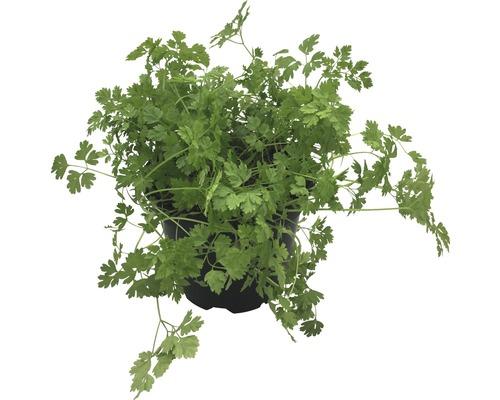 Cerfeuil FloraSelf Bio Anthriscus cerefolium pot Ø 12 cm