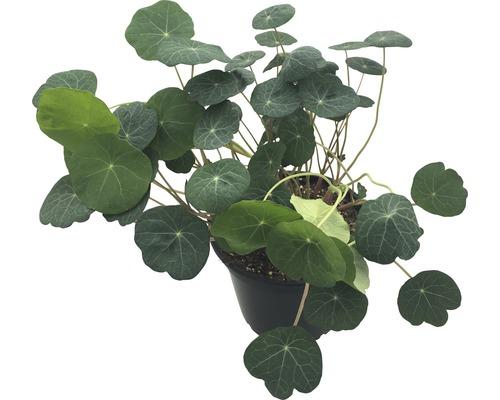 Graines de capucine FloraSelf Bio Tropaeolum majus pot Ø 12 cm