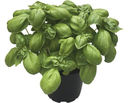 Basilic FloraSelf Bio Ocimum basilicum pot Ø 12 cm