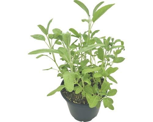 Sauge Salvia officinalis pot Ø 12 cm