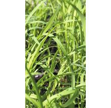Citronnelle FloraSelf Bio Cymbopogon citratus pot Ø 12 cm-thumb-0
