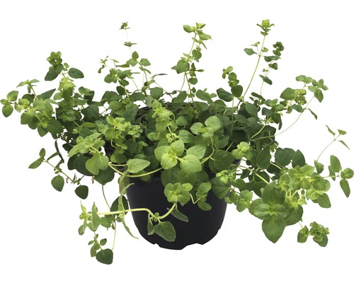 Origan FloraSelf Bio Origanum vulgare pot Ø 12 cm