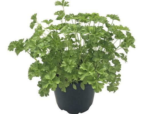 Persil FloraSelf Bio Petroselinum crispum ''Nain frisé mousse'' pot Ø 12 cm