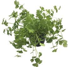Persil FloraSelf Bio Petroselinum crispum ''Plat'' pot Ø 12 cm-thumb-1