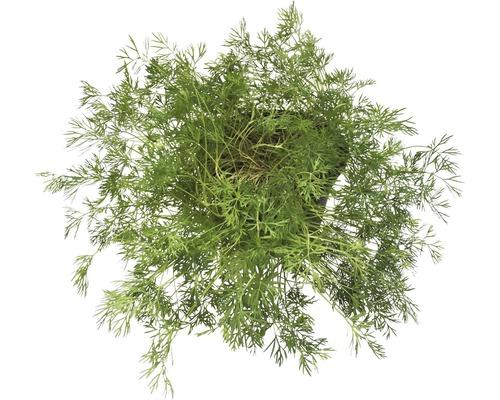 Aneth FloraSelf Bio Anethum graveolens pot Ø 12 cm