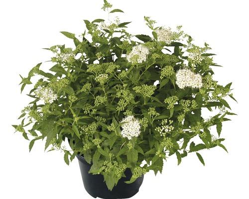 Spirée du Japon naine blanche Spiraea japonica ''Albiflora'' H30-40cm Co 2 l