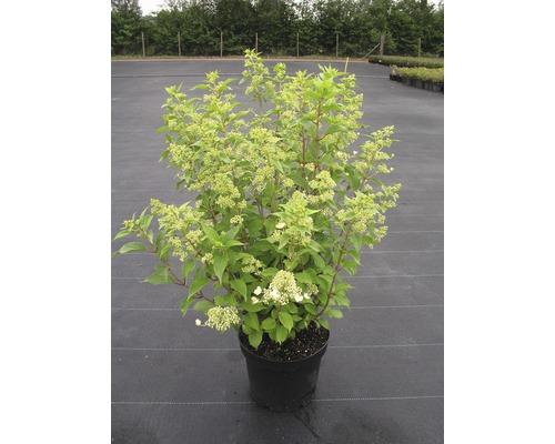 Hortensia paniculé Hydrangea paniculata ''Kyushu'' 50-60cm Co 7,5l
