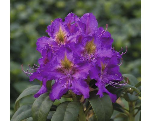 Rose des alpes FloraSelf® Rhododendron Hybride, ''lilas'', H 40-50 cm