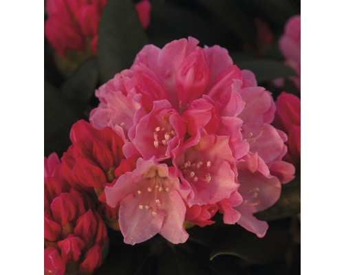 Rhododendron en forme de boule FloraSelf® Rhododendron yakushimanum, ''rouge'', H 30-40 cm