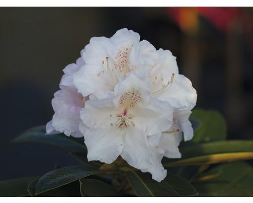 Rhododendron en forme de boule FloraSelf® Rhododendron yakushimanum,''blanc'', H 30-40 cm