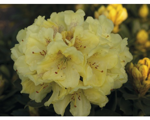 Rose des alpes FloraSelf® Rhododendron Hybride, ''jaune'', H 30-40 cm