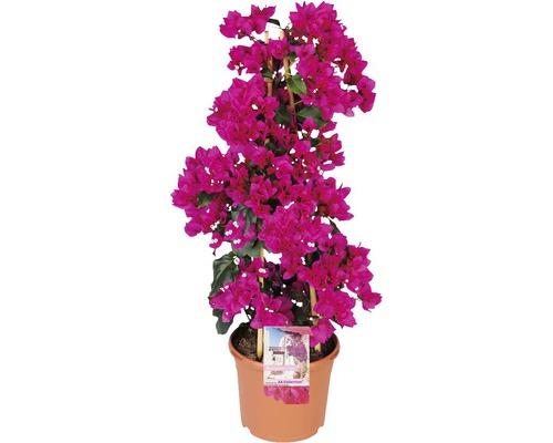 Bougainvillea FloraSelf® Bougainvillea Glabra sandriana ''Renate'' Ø 23 H 20-85cm